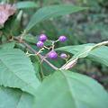 紫式部の紫色の果実IMG_5227
