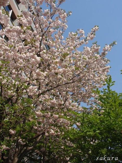 Photos: 里桜 満開 4月26日