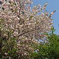 里桜 満開 4月26日