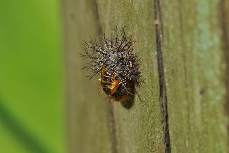 トホシテントウの幼虫