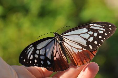 タテハチョウ科 アサギマダラ♀