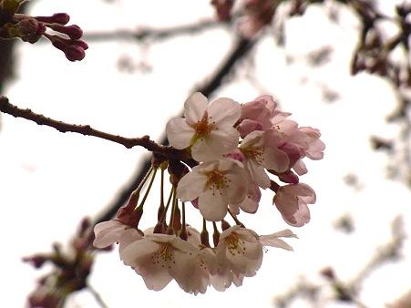 桜は三分か。