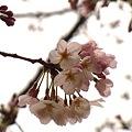 Photos: 桜は三分か。