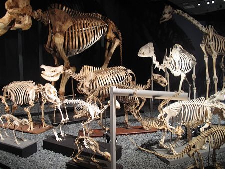 上野大哺乳類展 - 骨格標本