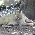 写真: インドライオンのメス