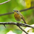 Photos: ミヤマヒメアオヒタキ♀(Hill Blue Flycatcher) P1090613_R2