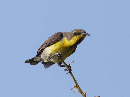 キバラタイヨウチョウ(Olive-backed Sunbird) P1120908_R