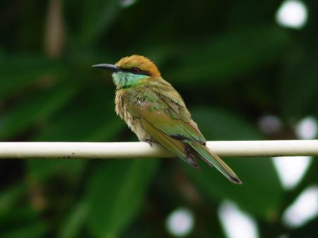 ミドリハチクイ(Green Bee-Eater) P1140239_R