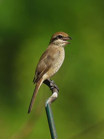 アカモズ(Brown Shrike) P1240148_R