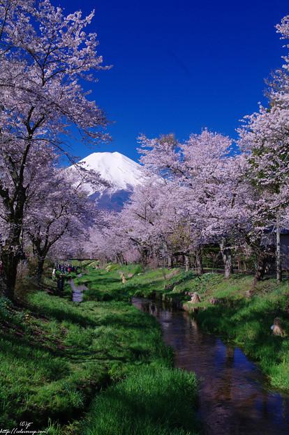 冨士と新名庄川の桜2