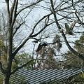 写真: 逃げるカモ