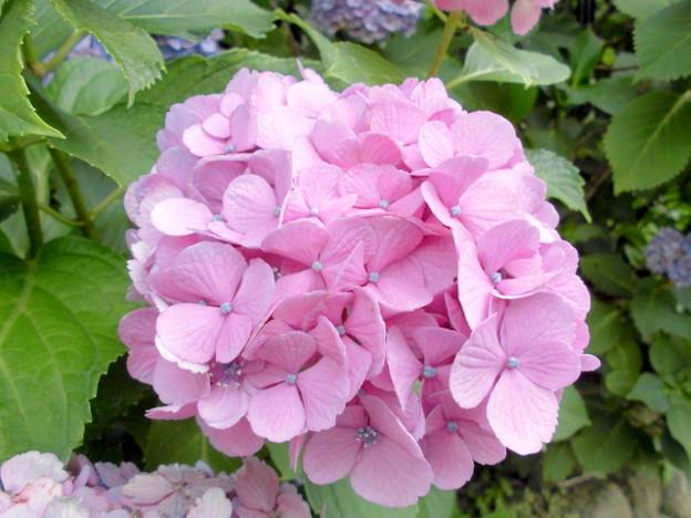 飛鳥山公園 飛鳥の小径 紫陽花
