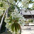 写真: 西大寺の御衣黄桜