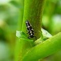 写真: テントウムシの幼虫