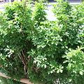 Photos: 米沢の街中にある、うこぎの垣根