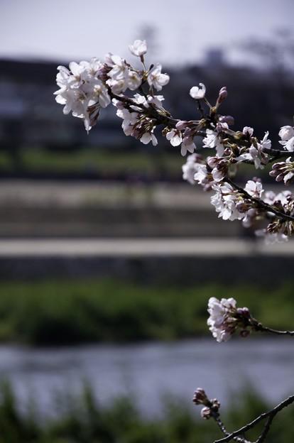 Photos: 鴨川、桜まみれ07