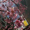 Photos: オカメザクラ3