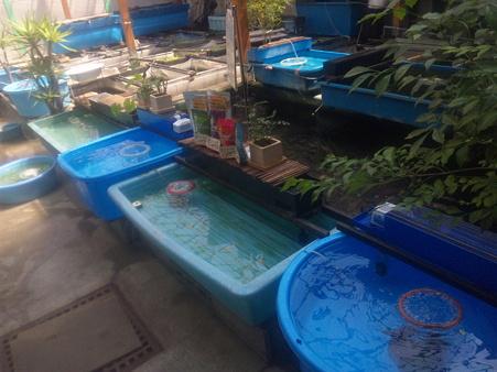 アオコと二歳魚が近日入荷み...