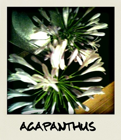 名前はアガパンサス