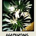 Photos: 名前はアガパンサス