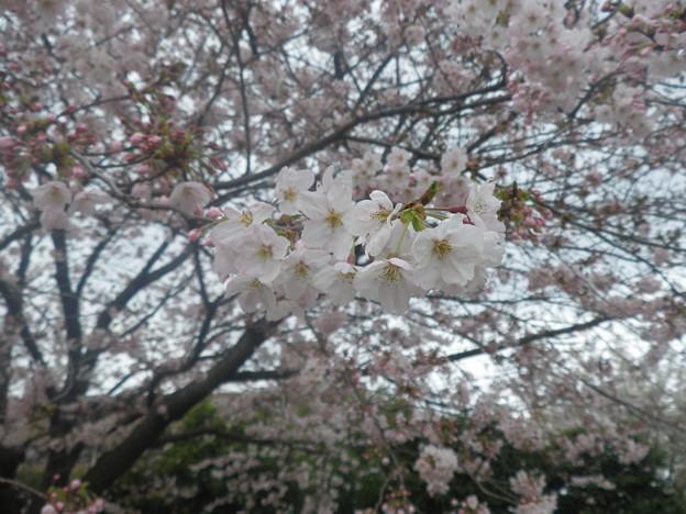 2010_04_07_熊谷桜堤-1