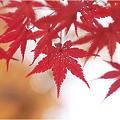 写真: 紅葉・・・。