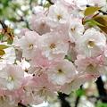 八重桜 白