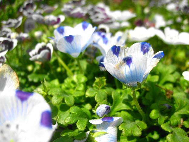 ネモフィラの花2