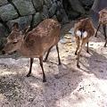Photos: 厳島神社にも鹿がいた( *`ω´) 奈良公園の鹿よりおとなしい(笑)