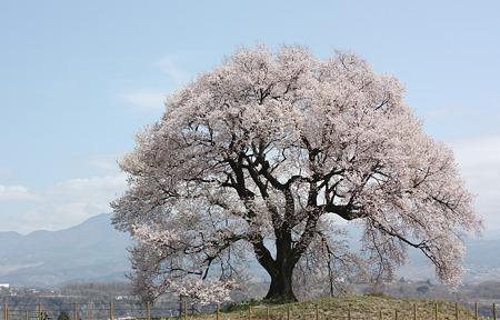 山梨・韮崎 わに塚の桜