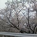 写真: 新潟市南区臼井の桜