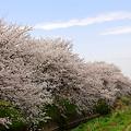 Photos: どこまでも桜
