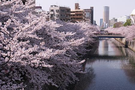 暖かな日の満開の桜@目黒川