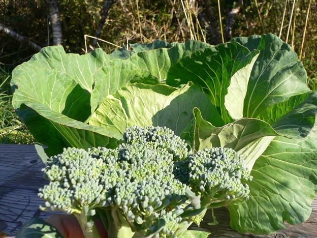 Photos: キャベツとブロッコリーの初収穫