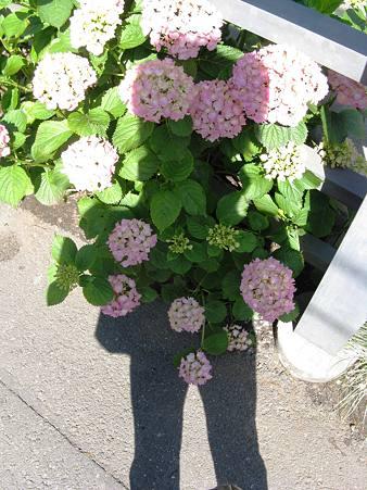 影に紫陽花の花が咲く」