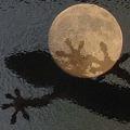 写真: 月とヤモリ (アップ)