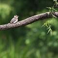 Photos: コゲラっちの赤い羽根♪