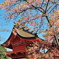 写真: 浅間造りの本殿と寒緋桜