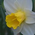 Daffodil and a Bug
