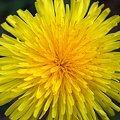 Dandelion Like Mandala