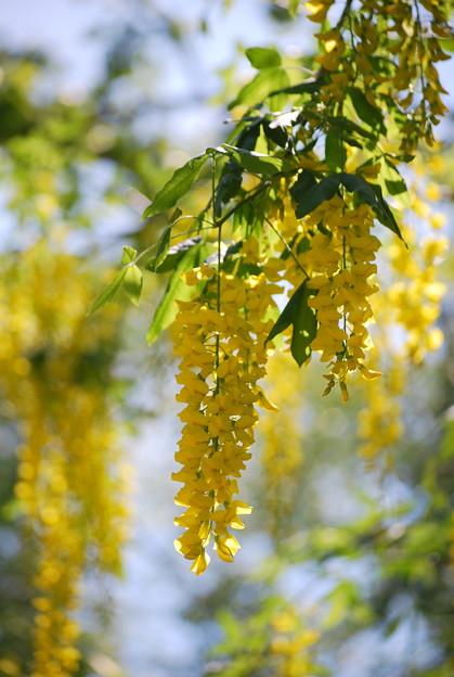 'Vossii' Golden Chain Tree