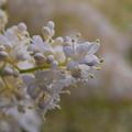 Japanese Tree Lilac 6-12-10