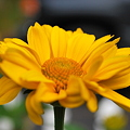 写真: False Sunflower 7-9-10