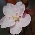 Photos: Sakura 5-2-11