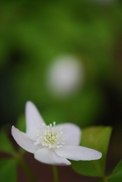 写真: Wood Anemone