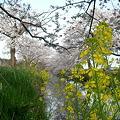 1004桜
