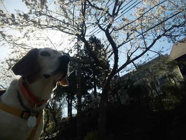 ぶーたれマリンと桜と家