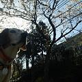 写真: ぶーたれマリンと桜と家