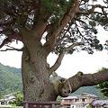 写真: 川西の一本松_01