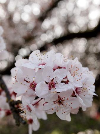 春心、桜知ラズ